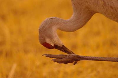 Fowl. Wildlife Photograph - Scratching The Itchy Spot by Jeff Swan