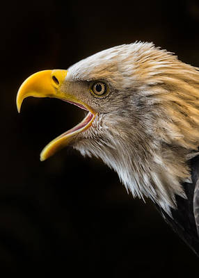 American Eagle Digital Art - Scream For Freedom by Bill Tiepelman