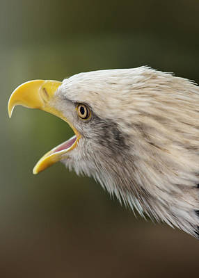 American Eagle Digital Art - Screaming Eagle by Bill Tiepelman