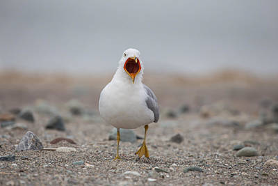 Photograph - Screaming Seagull by Karol Livote