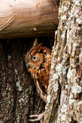 Outerspace Patenets Royalty Free Images - Screech Owl 5 Royalty-Free Image by Douglas Barnett