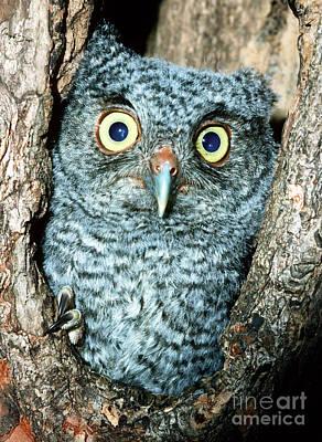 Photograph - Screech Owl Chick by Millard H Sharp