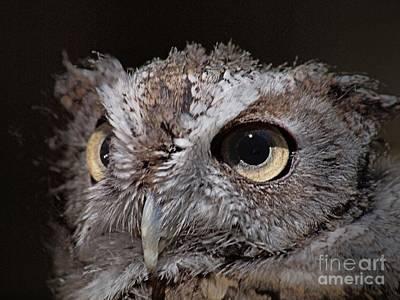Screech Owl Photograph - Screech Owl  by Frank Piercy