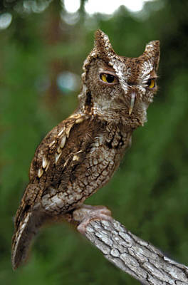 Photograph - Screech Owl. Seminole County. by Chris  Kusik