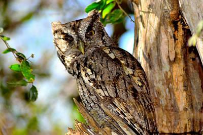 Photograph - Screech Owl by Shannon Harrington
