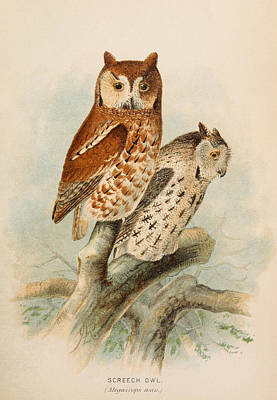 Screech Owl Painting - Screech Owls by Dreyer Wildlife Print Collections