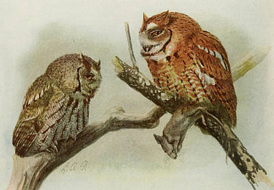 Colored Owl Painting - Screech Owls by Dreyer Wildlife Print Collections