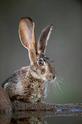 Scrub Hare Print by Tony Camacho