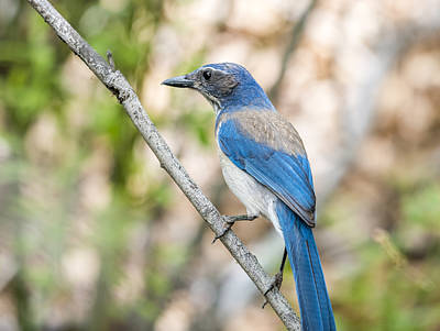 Photograph - Scrub Jay Perched by Loree Johnson