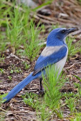 Scrubjay Art Print by Regina  Williams