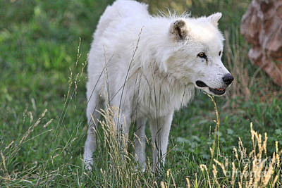 Photograph - Scruffy White Wolf by Kate Purdy
