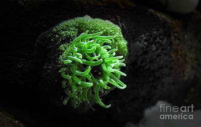 Photograph - Sea Anemone by Charline Xia