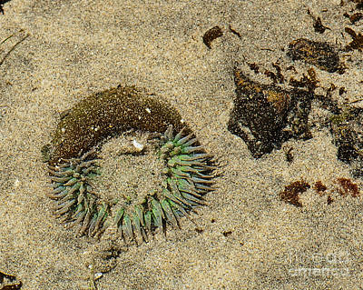 Photograph - Sea Anenome Half Buried In The Sand by Artist and Photographer Laura Wrede