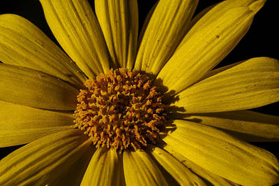 Photograph - Sea Dahlia Closeup by Lee Kirchhevel