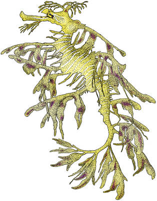 Leafy Sea Dragon Photograph - Sea Dragon by Roger Hall
