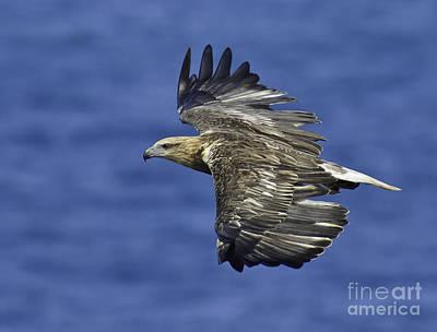 Sea Eagle  Print by Michael  Nau