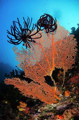 Sea Fan Photograph - Sea Fan (gorgonia by Pete Oxford