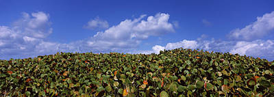Sea Grapes Coccoloba Uvifera Art Print by Panoramic Images