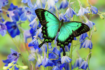 Blue Swallowtail Photograph - Sea Green Swallowtail Butterfly, Papilio by Darrell Gulin