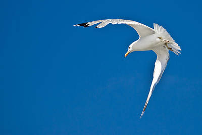 Photograph - Sea Gull Flying With Blue Sky In Background by Brch Photography