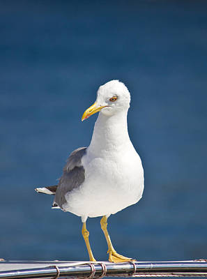 Photograph - Sea Gull Standing On Boat Front View by Brch Photography