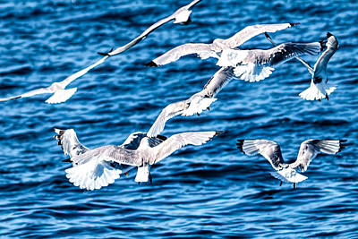 Photograph - Sea Gulls 7 by Perla Copernik