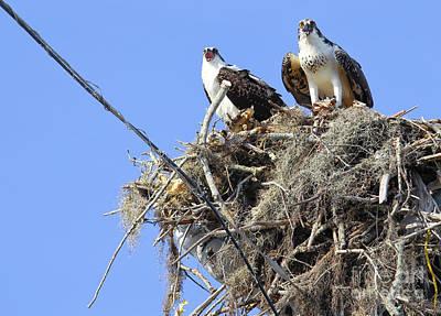 Photograph - Sea Hawks by Kelly Morrow