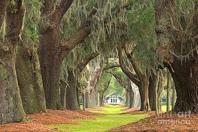 Large Oak Tree Photograph - Sea Island Golf Club Oaks by Adam Jewell