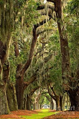 Photograph - Sea Island Oaks Portrait by Adam Jewell