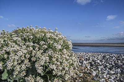 Photograph - Sea Kale 6 by Arterra Picture Library