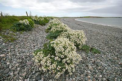 Kale Photograph - Sea Kale (crambe Maritima) by Annie Haycock
