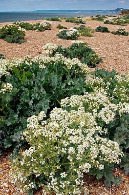 Kale Photograph - Sea Kale (crambe Maritima) In Flower by Bob Gibbons