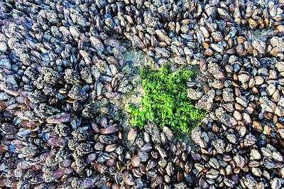 Sea Lettuce And Mussels Art Print by Peter Chadwick