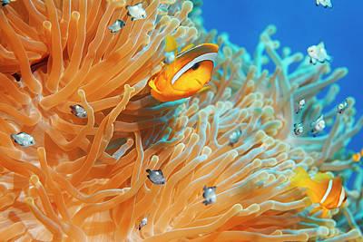 Sea Life - Anemone  Clownfish Art Print by Ultramarinfoto