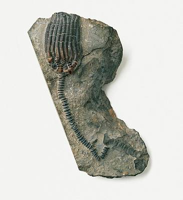 Crinoid Photograph - Sea Lily Fossil by Dorling Kindersley/uig