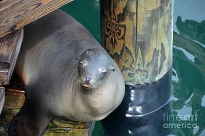 Photograph - Sea Lion At Avila Wharf by Debra Thompson