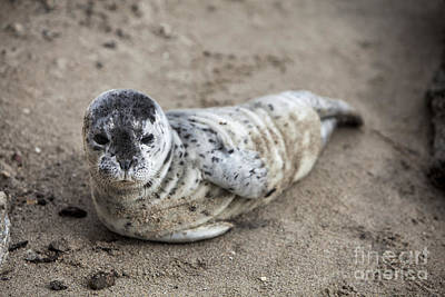 Photograph - Seal Baby by David Millenheft