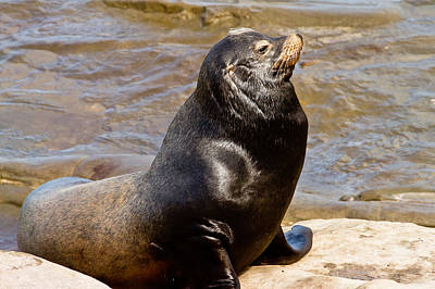 Photograph - Sea Lion by Ben Graham