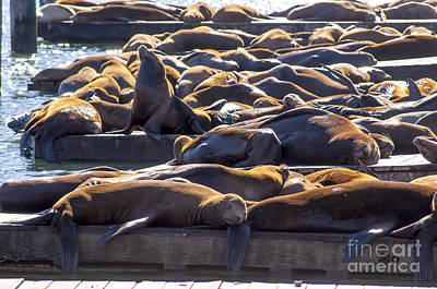 Photograph - Sea Lion Colony by Brenda Kean