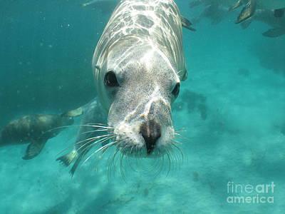 Sea Lion Print by Crystal Beckmann