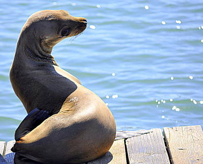 Photograph - Sea Lion Looking Back by AJ  Schibig