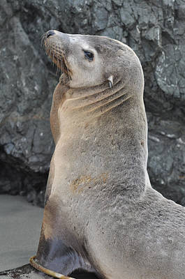 California Photograph - Sea Lion Portrait by Brandon Bourdages