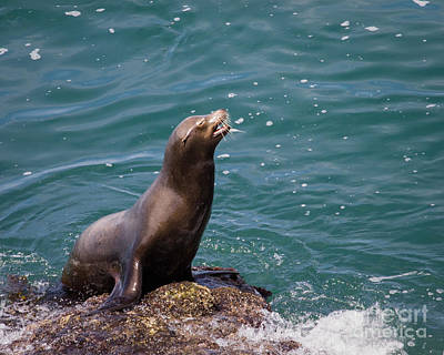 Sea Lion Posing Art Print by Dale Nelson