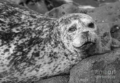 Sea Lion Stare In Monochrome Art Print by Darleen Stry