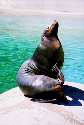 Photograph - Sea Lion by Steve Karol
