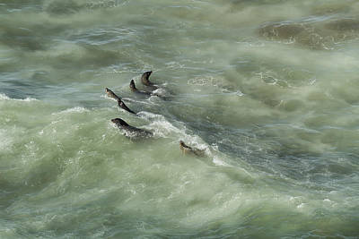 Photograph - Sea Lions Cavorting In A Green Sea by Belinda Greb
