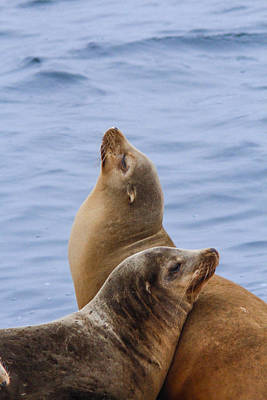 Photograph - Sea Lions by Jill Bell