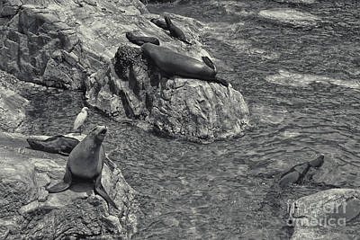 Photograph - Sea Lions by Olga Hamilton