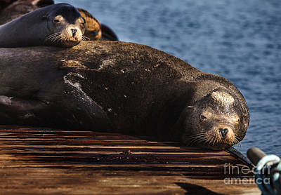 Photograph - Sea Lions On The Dock by David Millenheft