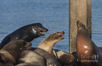 Photograph - Sea Lions On The Pier by David Millenheft